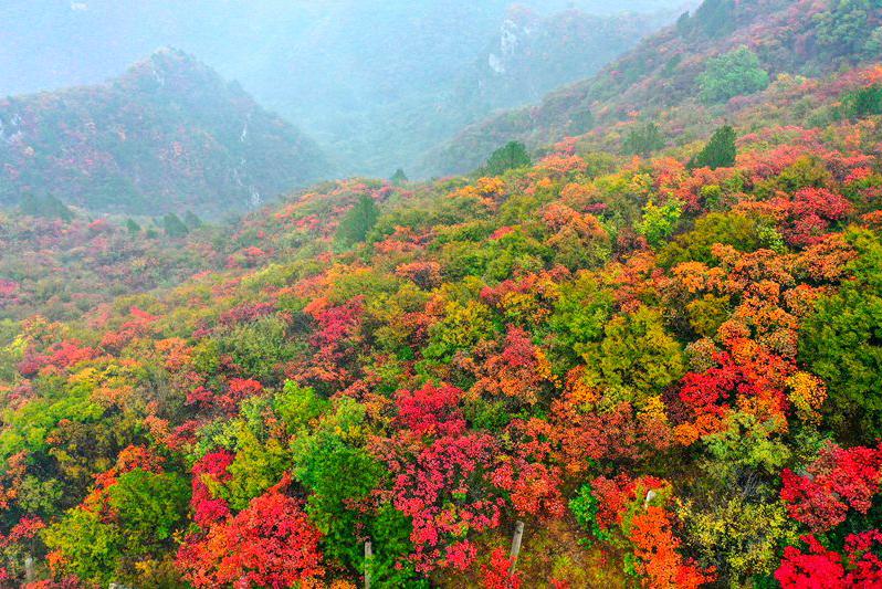 河南焦作:十万亩红叶海染尽秋山