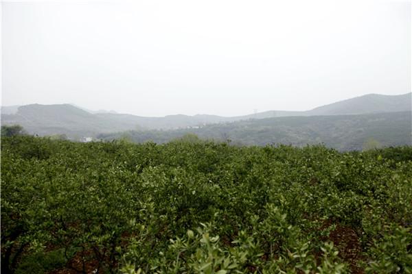 内乡:发展柑橘产业助力脱贫攻坚