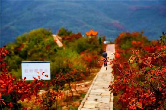 红叶满山 染亮荆紫仙山的惬意之秋