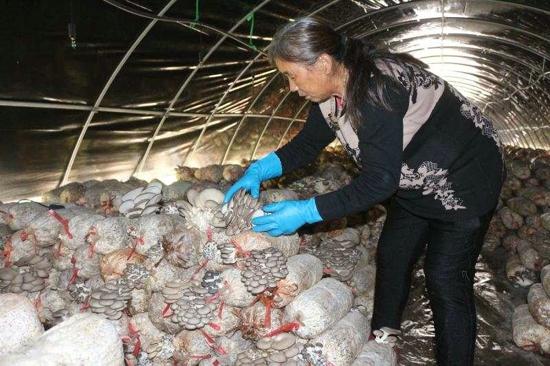 新蔡县黄楼镇:发展食用菌种植带动群众增收