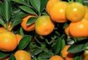 橘子分公母实在不靠谱 怎么挑到好吃的橘子?