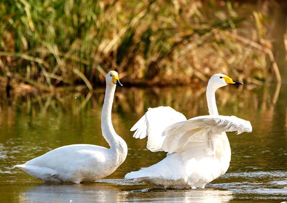 内乡:白天鹅首次现身湍河湿地