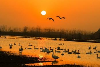 三门峡灵宝:生态湿地美如画 天鹅云集栖息