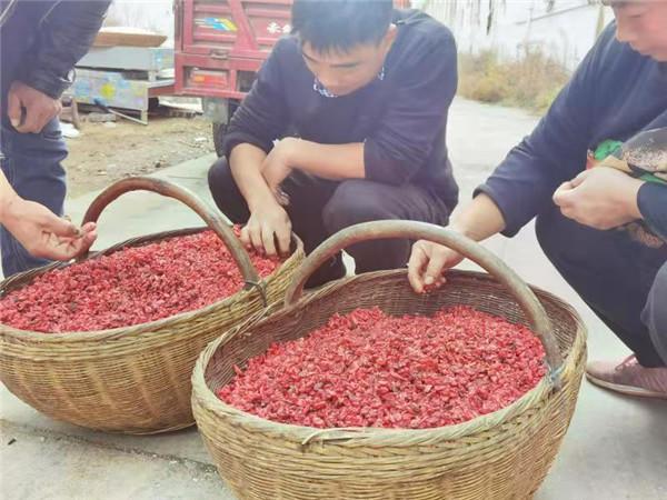 """南召县3000余户药农系上产业增收""""保险带"""""""
