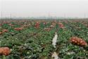 社旗县饶良镇: 大力发展蔬菜产业 擂动乡村振兴战鼓