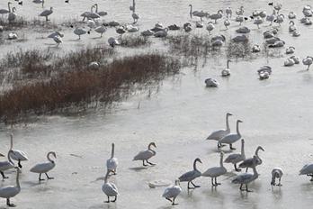 三门峡:上万只白天鹅优哉游哉