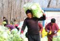 夏邑县郭庄农贸区高双庙村:小小大白菜 扶贫大产业