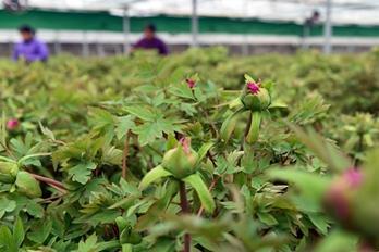 洛阳:40万盆催花牡丹供应全国各地节日市场