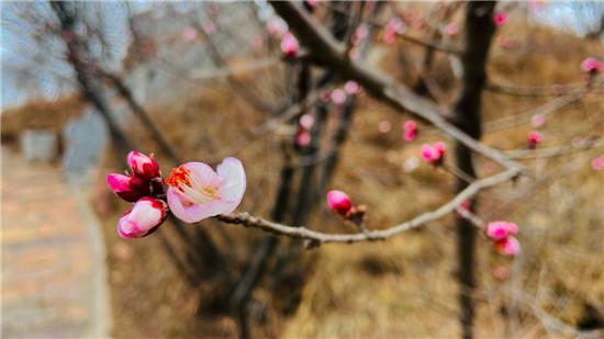 【花情预报第一期】桃花初盛迎春到,来荆紫仙山,开启2021赏花第一波!