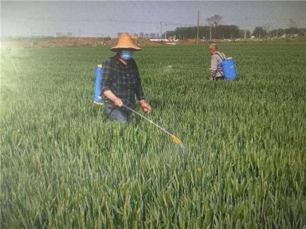 唐河县苍台镇:多措并举打好小麦病虫害防控攻坚战