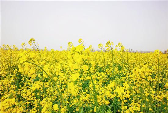 2021年首届开封爱思嘉·油菜花节即将启幕,千米风筝现场放飞!