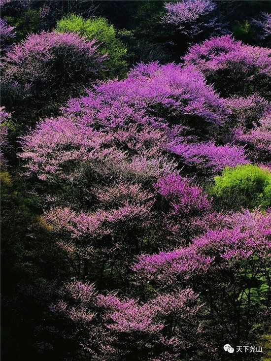 春漾尧山 I 紫荆花开,等你在紫色的梦里