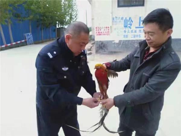 """河南邓州:""""金鸡""""飞入农户家"""