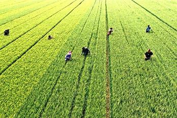 开封尉氏:加强小麦后期管理 确保丰产丰收