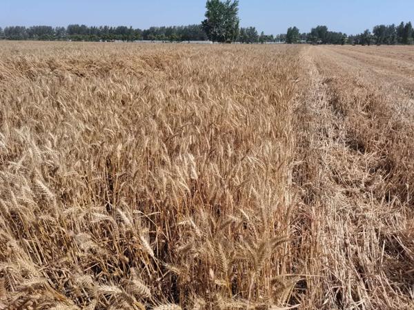 驻马店市驿城区水屯镇钟楼村订单小麦喜获丰收